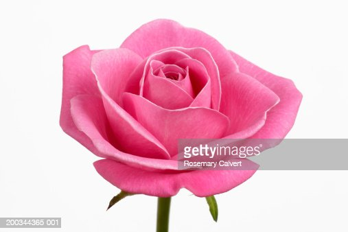 Pink rose (rosa sp.) against white background, close-up : Stock Photo