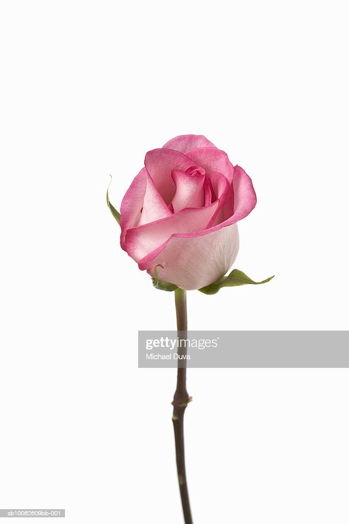 Pink rose against white background, close-up