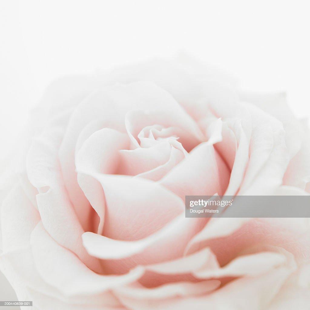 Pink rose (Rosa sp.), close up : Stock Photo