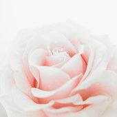 Pink rose (Rosa sp.), close up