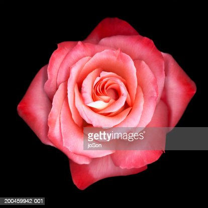 Pink rose (Rosa sp.), close-up : Stock Photo