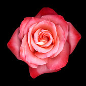 Pink rose (Rosa sp.), close-up