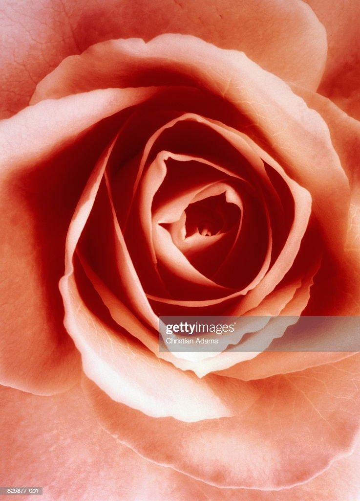 Pink rose (Rosa sp.), close-up : Stock Photo