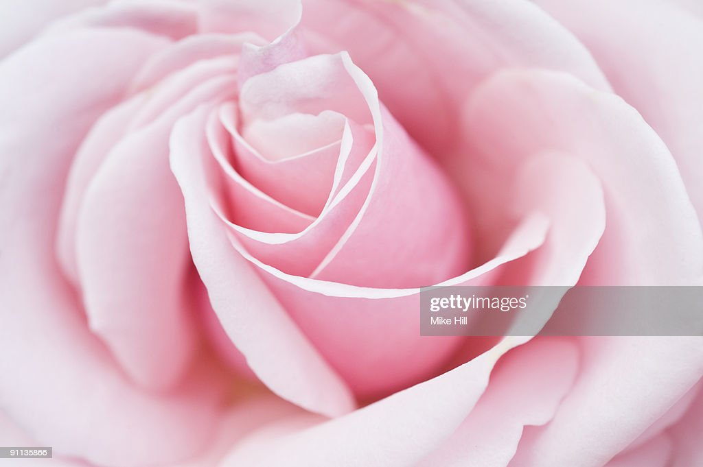 Pink Rose closeup : Stock Photo