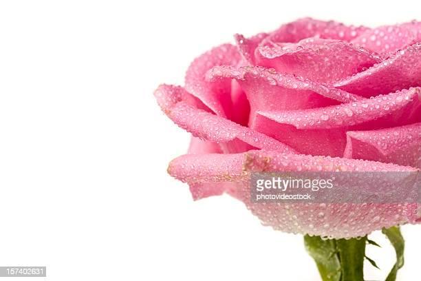 rose rose detail