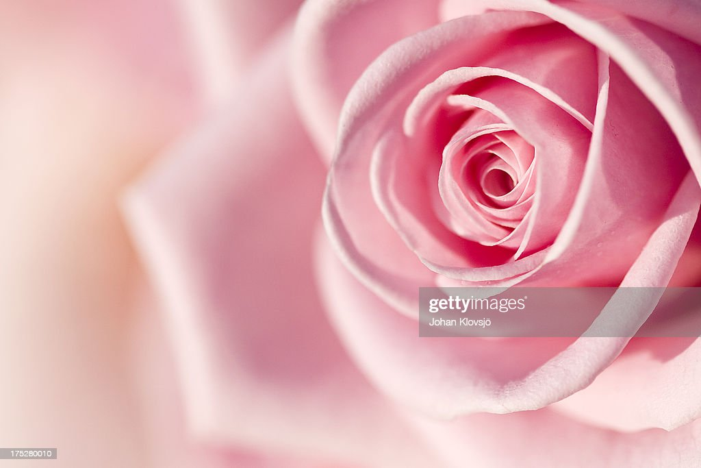 Pink rose detail : Stock Photo