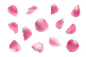pink rose falling petals ioslated on white