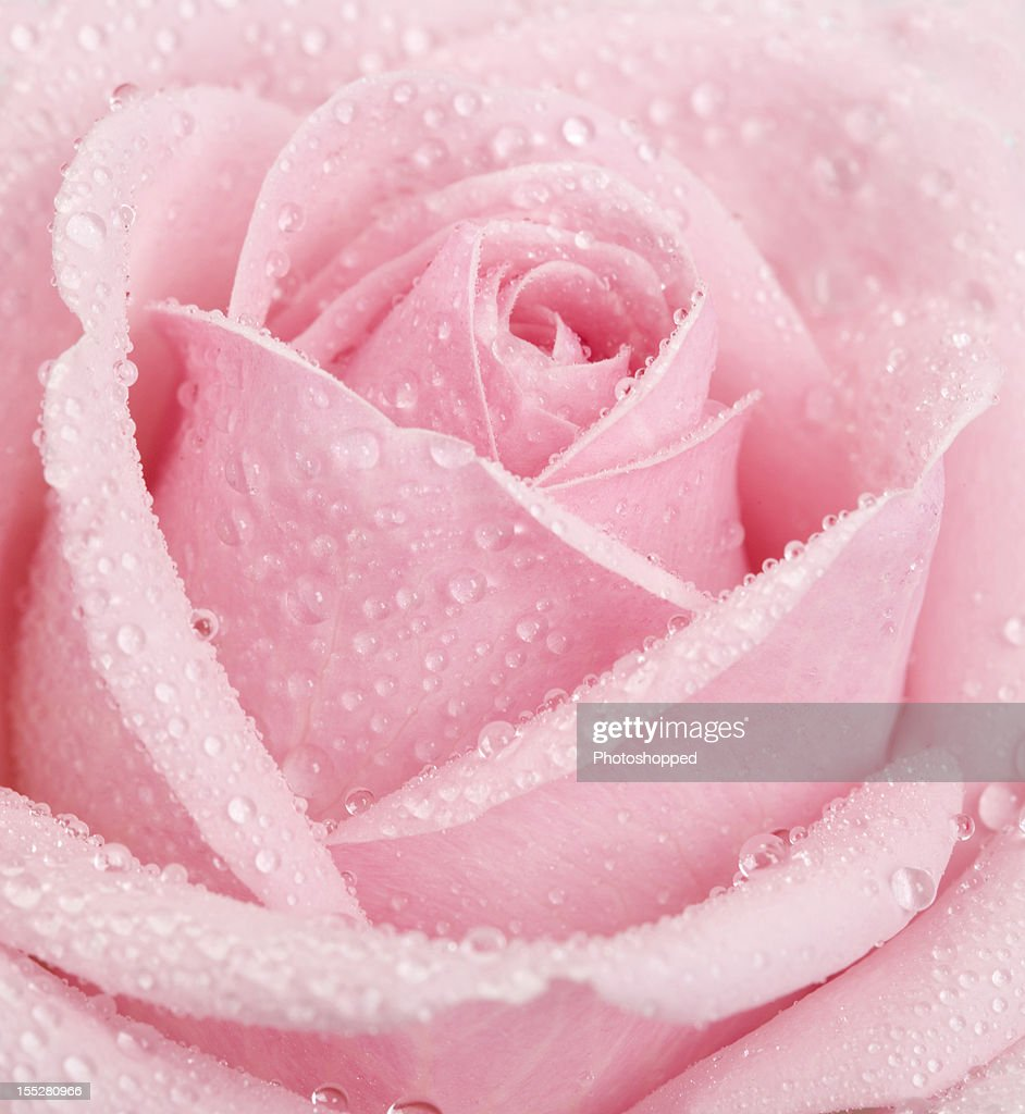 How To Make Rose Water: Pink Rose Flower Covered In Waterdrops Stock Photo