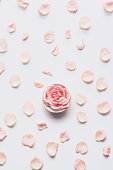 Valentine's Day flat lay: pink rose head and petals scattered on white background