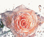 Pink rose in water, close up, white background