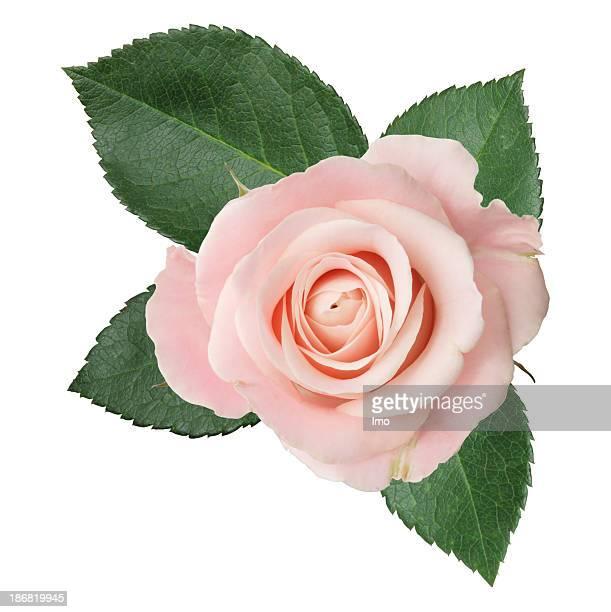 Rosa isolato