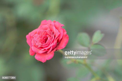 Pink rose on blurred background . : Bildbanksbilder