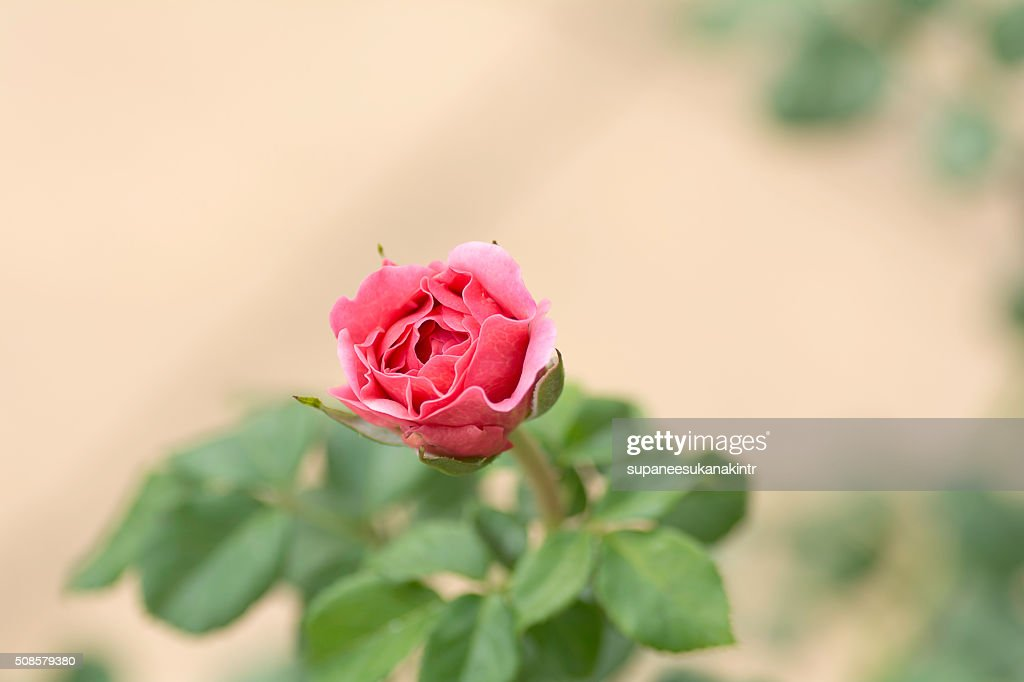 Pink rose on blurred background . : Bildbanksbilder