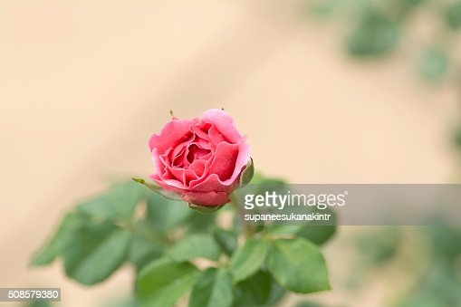 Pink rose on blurred background . : Stockfoto