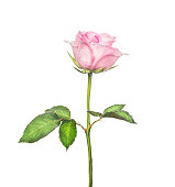 Beautiful pink rose on  long stalk with leaves, isolated on white background