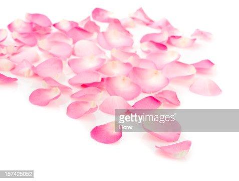 Pink rose petals on white
