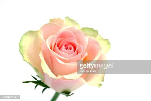 pink rose : Stock Photo