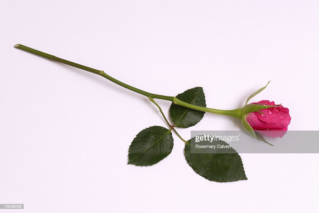 Pink rose : Stock Photo