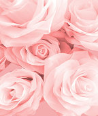 Pink rose flower on background