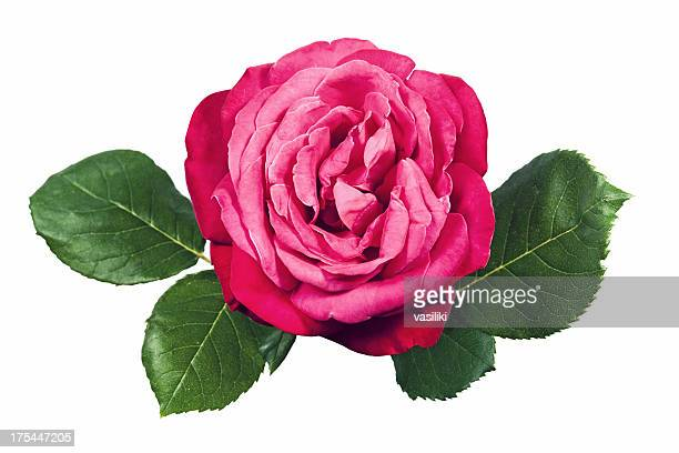 Rosa Rosen mit Blätter