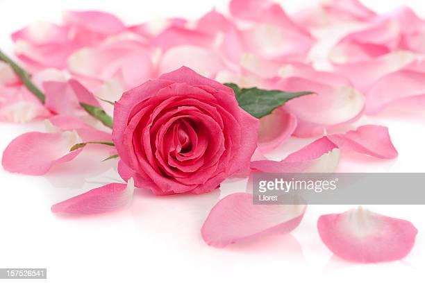 Rosa Rose und Rosenblätter auf Weiß