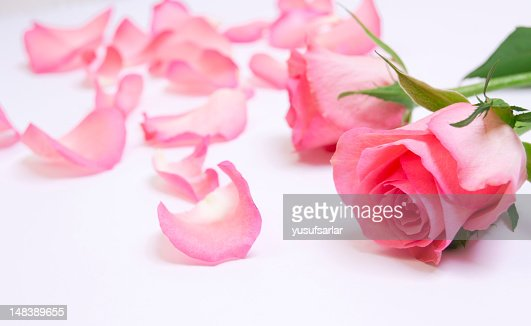 Pink Rose with Petals