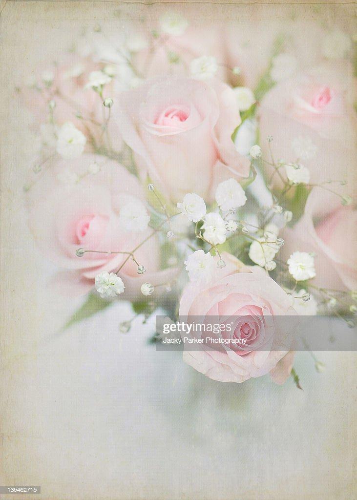 Pink roses and white gypsophila : Stock Photo