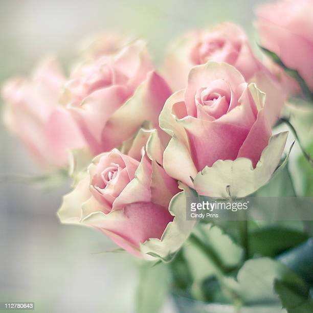 Pink roses bathing in morning light