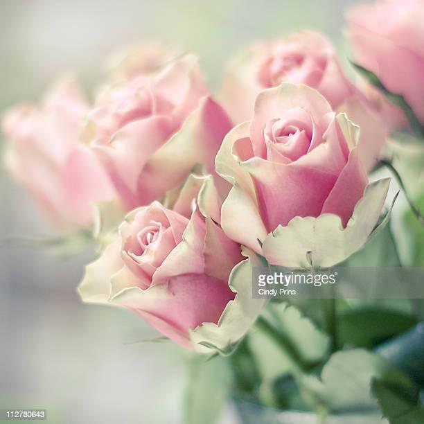 Pink roses bathing in morning light