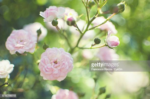 Pink Roses Blooming In Garden