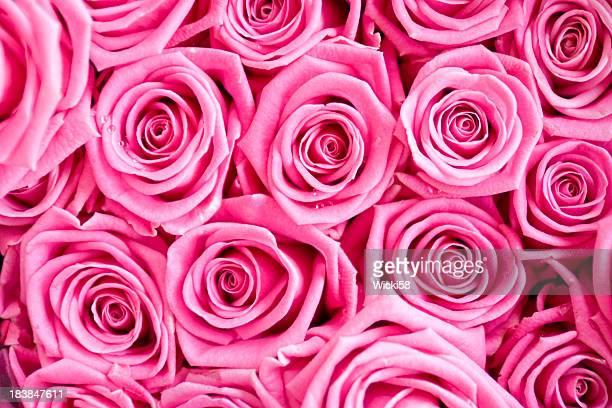 Pink Roses Dew