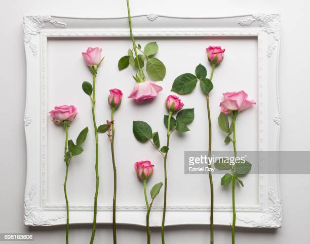 Pink roses laid out in rows contained within a white picture frame on a white background