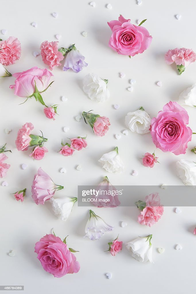 Pink roses on white background : Stock Photo