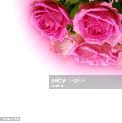 Pink roses. : Stockfoto