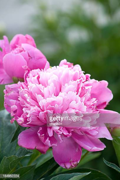 Pink ruffled peony also known as Paeonia Lactiflora