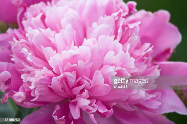 Pink Ruffled Peony, Paeonia Lactiflora