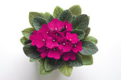Pink saintpaulia african violet flower from above. Symbol of unaffectedness and faithfulness.