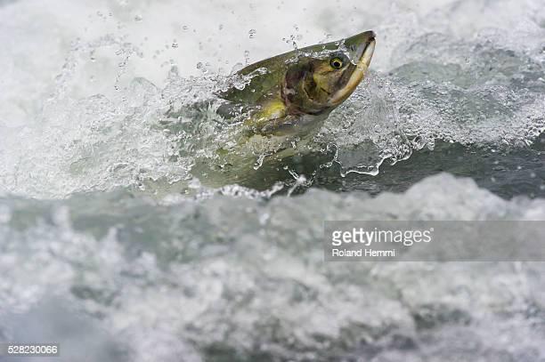 Pink Salmon (Oncorhynchus gorbuscha) jumping upstream; Valdez, Alaska, United States of America