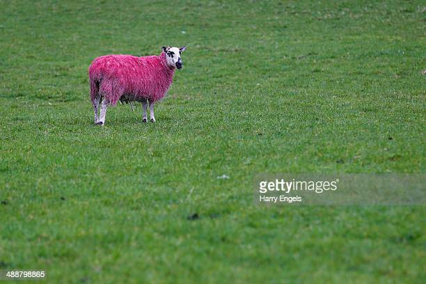 A pink sheep stands in a field next to the route of Stage 2 ahead of the Team Presentation for the 2014 Giro d'Italia on May 8 2014 in Belfast...