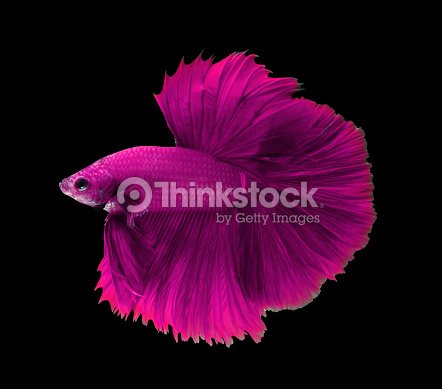 Rose poisson combattant siamois halfmoon betta poisson for Poisson combattant prix