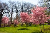 Pink spring blooms in Newark park