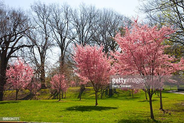 Pink spring blooms in Newark park