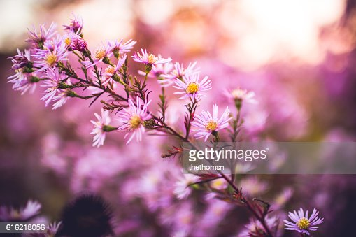 Pink Summer Flowers : Stock-Foto