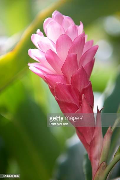 Pink Tahitian ginger (Alpinia purpurata)