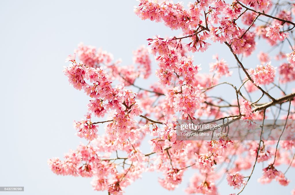 Pink Tree In Blossom