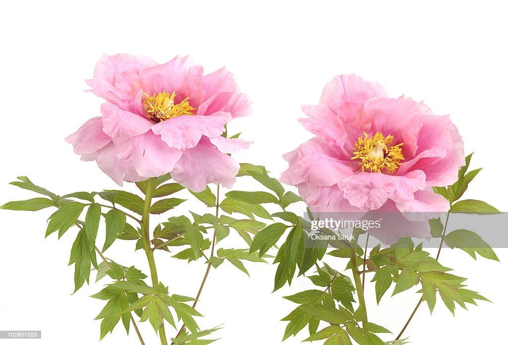 Pink tree peony flowers : Stock Photo