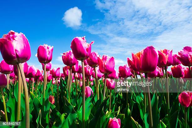 Pink Tulip field, Lisse, Netherlands