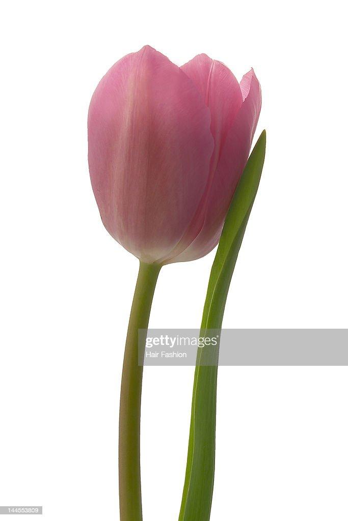 Pink tulip : Stock Photo