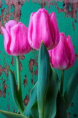 Pink tulips against green wall