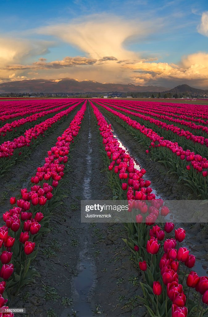 Pink Tulips and Clouds : Stock Photo